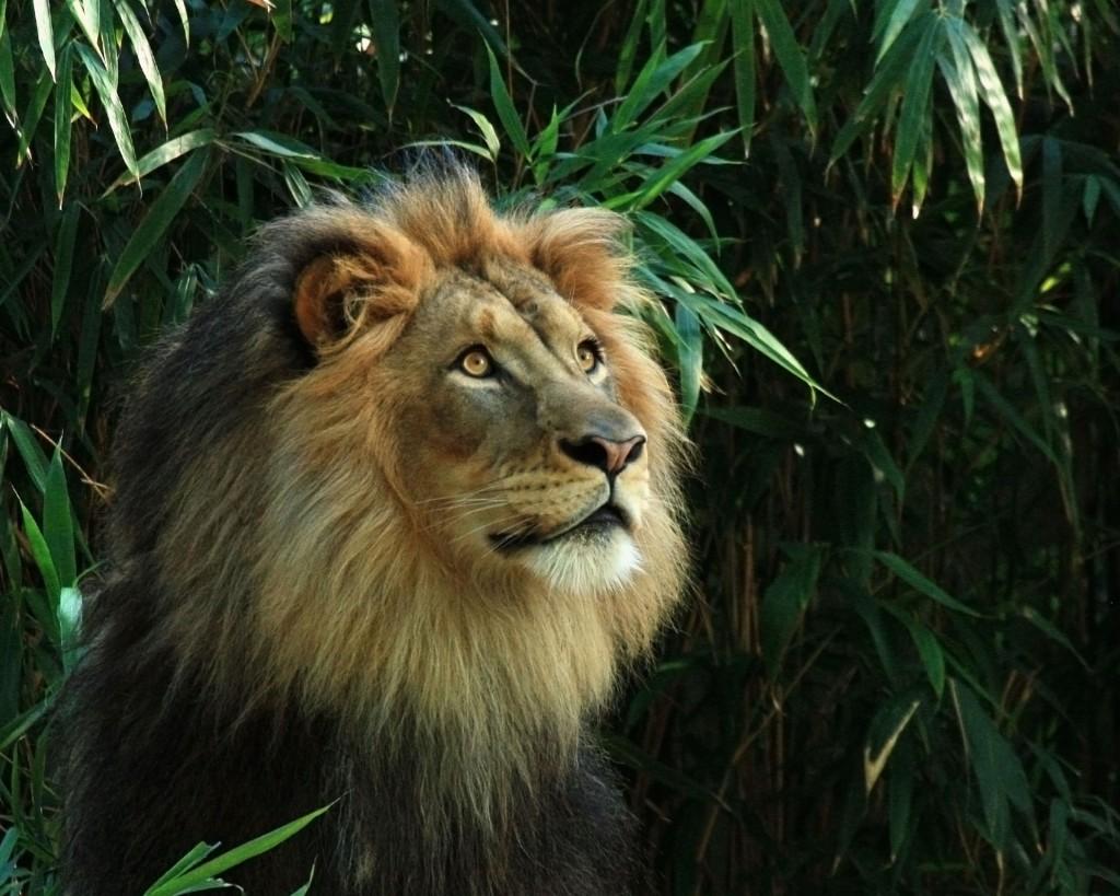 Тайна короля джунглей